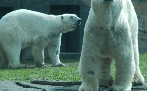 Como Park Zoo Polar Bears Saint Paul, MN