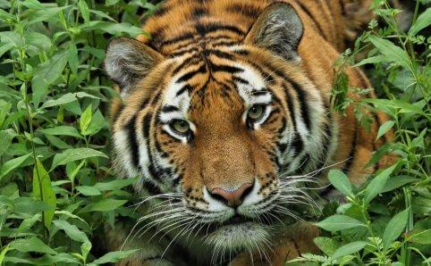 Minnesota Zoo Tiger Apple Valley, MN